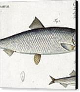 Herring Canvas Print by Andreas Ludwig Kruger