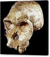 Homo Habilis Cranium (oh 24) Canvas Print by Science Photo Library