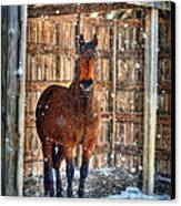 Horse And Snow Storm Canvas Print by Dan Friend