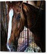 Horse In A Box Stall - Horse Stable Canvas Print