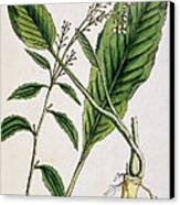 Horseradish Canvas Print by Elizabeth Blackwell