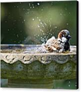 House Sparrow Washing Canvas Print