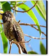 Hummingbird On A Branch Canvas Print by Robert Bascelli
