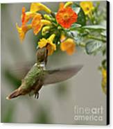 Hummingbird Sips Nectar Canvas Print by Heiko Koehrer-Wagner
