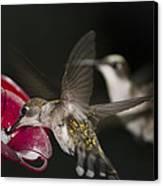Hummingbirds In Flight Canvas Print by Nelson Watkins