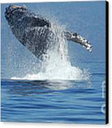 Humpback Whale Breaching Canvas Print by Bob Christopher