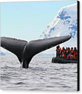 Humpback Whale Fluke  Canvas Print by Tony Beck