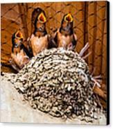 Hungry Baby Swallows - Antelope Island - Utah Canvas Print