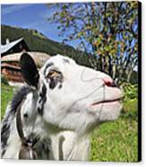 Hungry Goat Canvas Print by Matthias Hauser