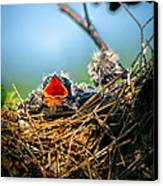 Hungry Tree Swallow Fledgling In Nest Canvas Print by Bob Orsillo