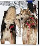 Husky Dogs Pull A Sledge  Canvas Print