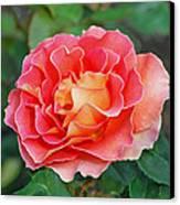 Hybrid Tea Rose  Canvas Print by Lisa Phillips