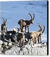 Ibex By A Glacier Canvas Print