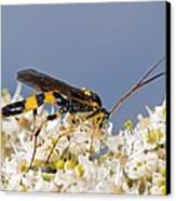 Ichneumon Wasp Feeding On Flowers Canvas Print