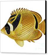 Illustration Of A Raccoon Butterflyfish Canvas Print by Carlyn Iverson