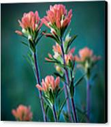 Indian Paintbrush At Dawn Canvas Print by James Barber