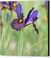 Iris Hollandica 'eye Of The Tiger' Canvas Print by Tim Gainey