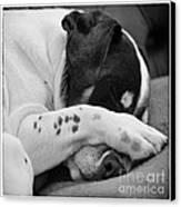 Jack Russell Terrier Dog Asleep In Cute Pose Canvas Print by Natalie Kinnear