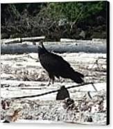Juvenile Turkey Vulture Canvas Print by Will LaVigne