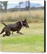 Kelpie Chasing A Ball Canvas Print by Christopher Edmunds