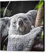 Koala Bear Canvas Print by Tom Mc Nemar