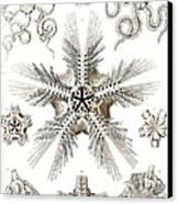 Kunstformen Der Natur Canvas Print by Ernst Haeckel