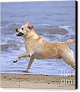 Labrador Cross Dog Running Canvas Print by Geoff du Feu