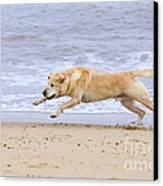 Labrador Dog Chasing Ball On Beach Canvas Print by Geoff du Feu