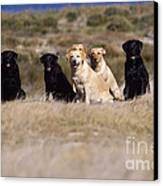 Labrador Dogs Waiting For Orders Canvas Print by Chris Harvey