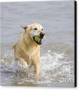 Labrador-mix Retrieving Ball Canvas Print by Geoff du Feu