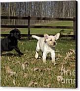 Labrador Retriever Pups Canvas Print by Linda Freshwaters Arndt