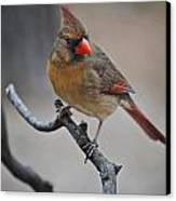 Lady Cardinal Canvas Print by Skip Willits