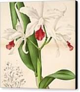 Laelia Elegans Canvas Print by Philip Ralley