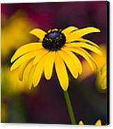Late Summer Rudbeckia  Canvas Print by Tim Gainey