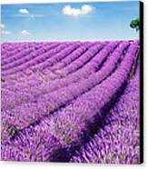 Lavender Field And Tree In Summer Provence France. Canvas Print by Matteo Colombo