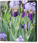 Lavender Iris Group Canvas Print