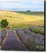 Lavender Valley Canvas Print by Carol Groenen