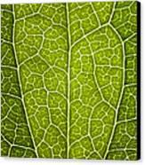 Leaf Lines V Canvas Print