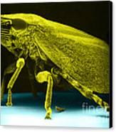 Leafhopper, Sem Canvas Print