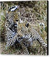 Leopard Tease Canvas Print by David Yack