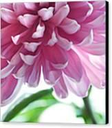 Light Impression. Pink Chrysanthemum  Canvas Print