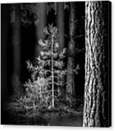 Lightpainting The Pine Forest New Growth Canvas Print by Dirk Ercken