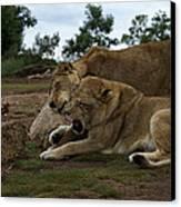 Lion - Get Off Me Canvas Print by Graham Palmer