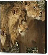 Lion Reunion Canvas Print by Jamie Bishop