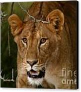 Lioness Canvas Print by Alison Kennedy-Benson