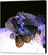 Lionfish Dendriochrius Barberi Canvas Print by Karon Melillo DeVega
