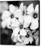 Little White Flowers. Canvas Print by Slavica Koceva
