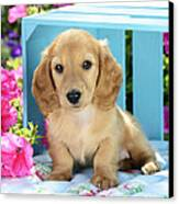 Long Eared Puppy In Front Of Blue Box Canvas Print