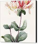 Lonicera Periclymenum  Canvas Print by Louise D Orleans
