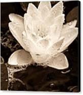 Lotus Blossom Canvas Print by John Pagliuca